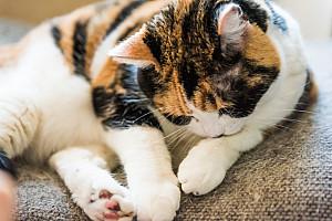 Katzenhaarallergie – Niesattacken statt Kuschelstunden