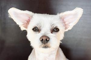 Ohrenentzündung beim Hund: Ohrentropfen und Ohrenreiniger