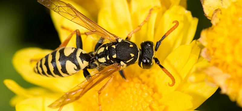 Wespenstich: Erste Hilfe bei Stichen und Tipps zum Schutz