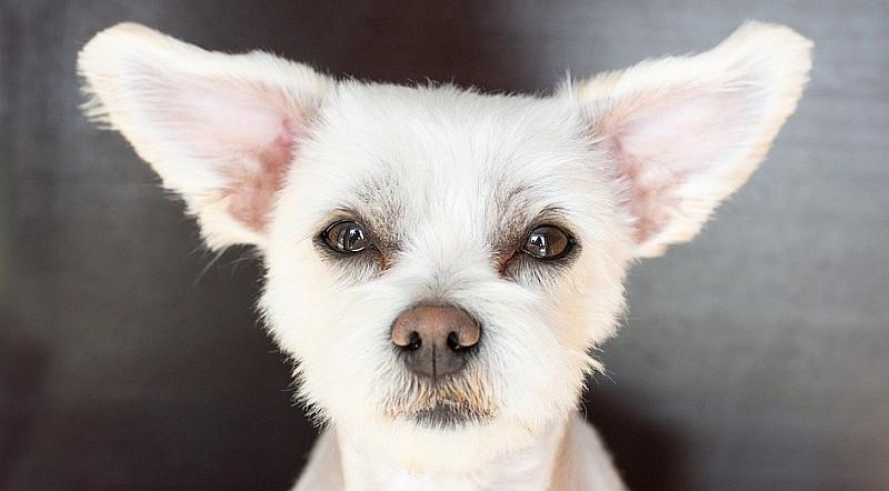 Ohrenentzündung beim Hund behandeln: Vorbeugung und Therapie